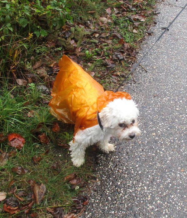 Der weiße Hund mit dem orangen Regenmantel