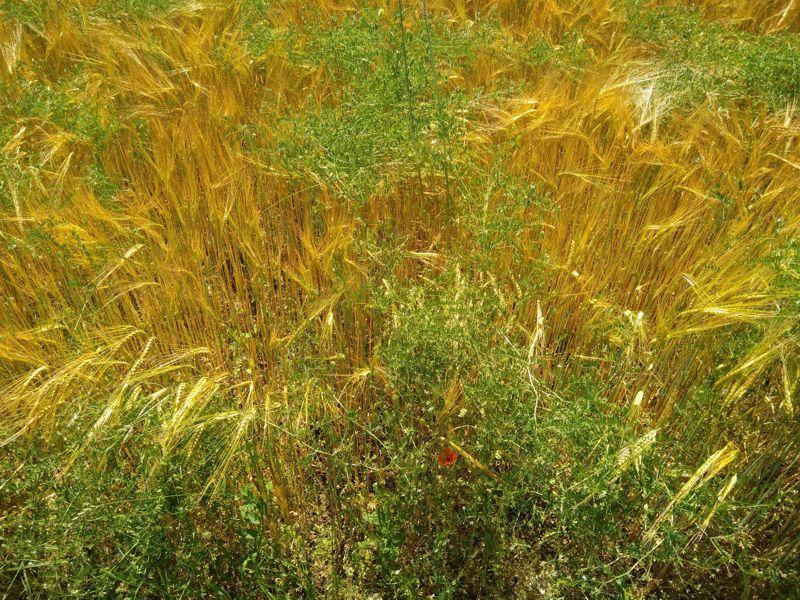 Überreifes Weizenfeld mit Unkraut
