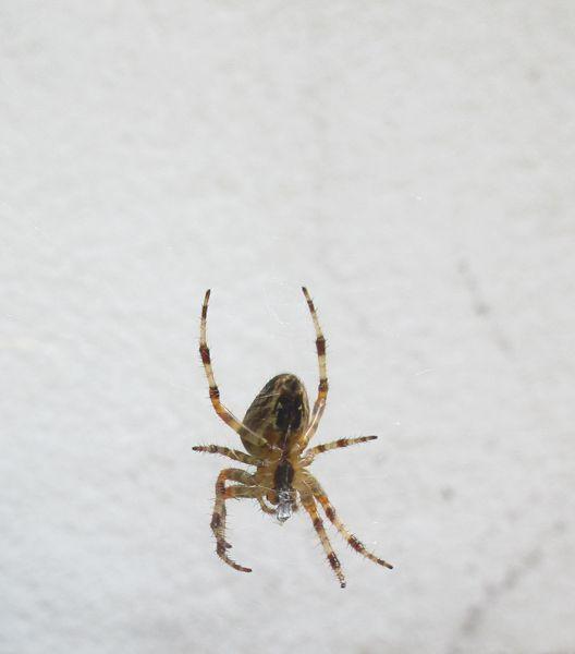 Die braun-gelb-weiße Spinne an ihrem Faden