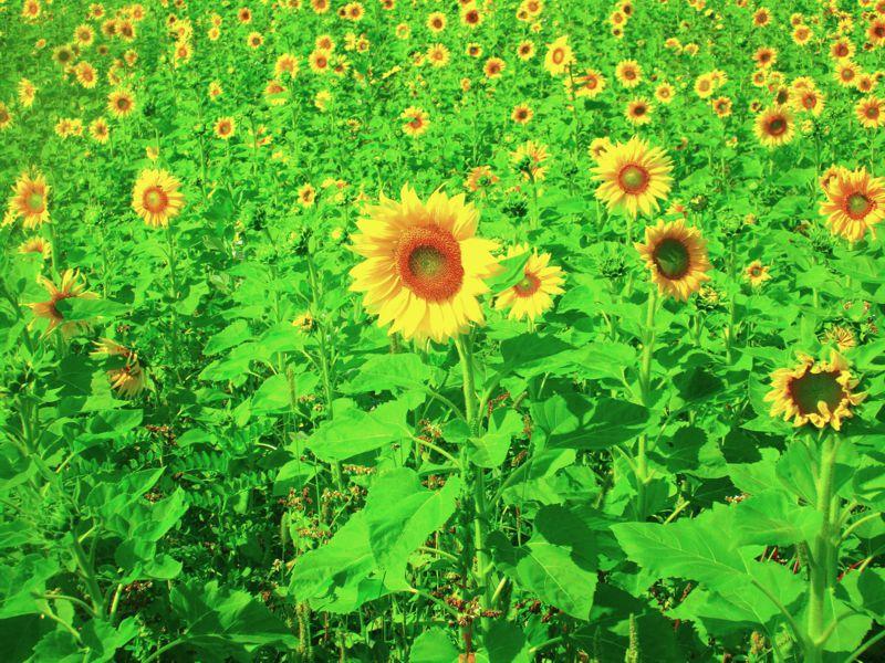 Das Sonnenblumenfeld am 14. September 2020 in Pritschitz