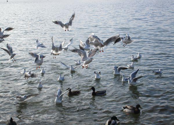Enten, Möwen und ein Blässhuhn im Jänner 2021 auf dem Wörthersee und Möwen über dem Wörthersee